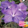 シンガポールの国花バンダの花言葉は優美な言葉