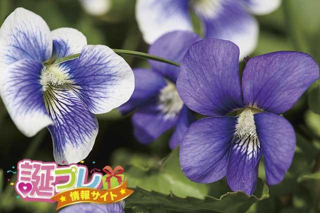 スミレの花の画像