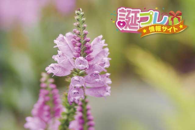 ハナトラノオの花の画像
