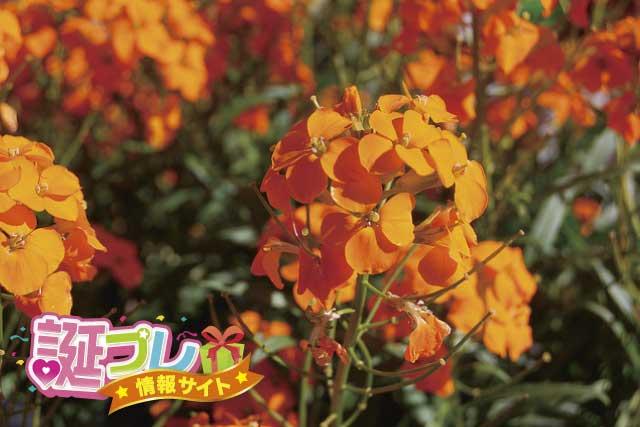 ウォールフラワーの花の画像
