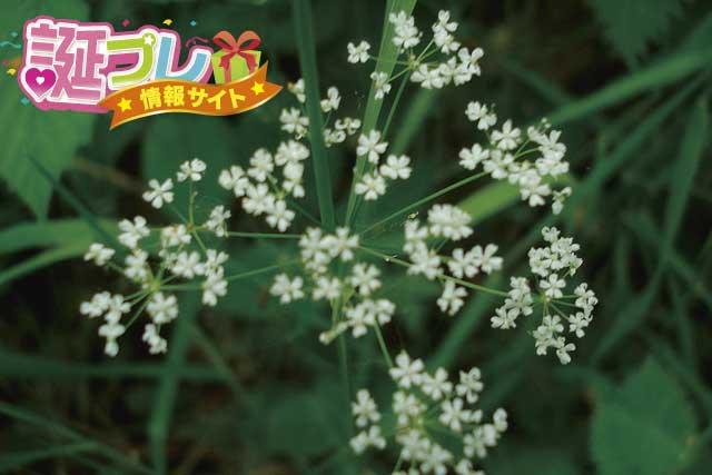 芹の花の画像