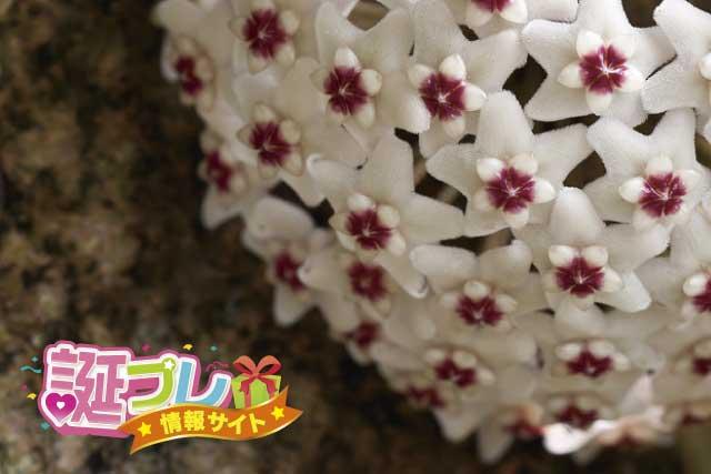 サクラランの花の画像