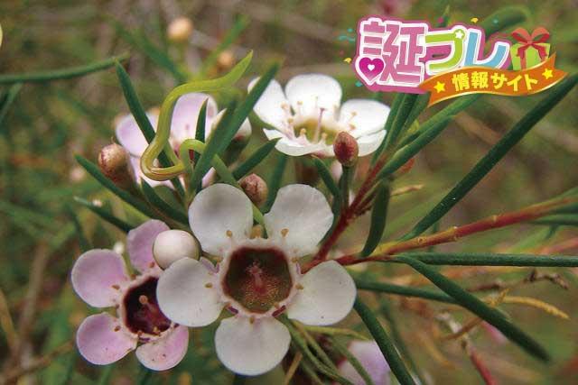 ワックスフラワーの花の画像