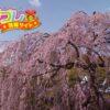 枝垂れ桜(しだれ桜)の花言葉は美しすぎる1語