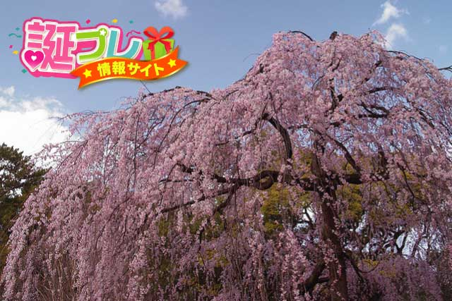 しだれ桜の画像