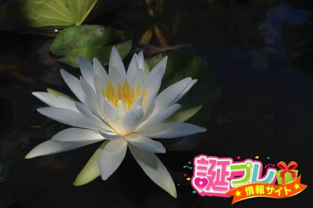 白色の睡蓮の画像