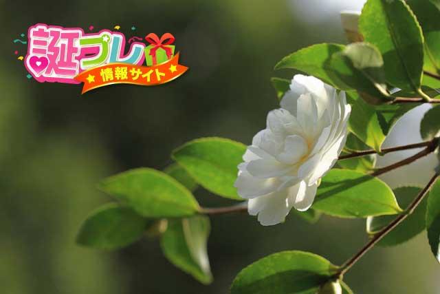 白色の椿の画像