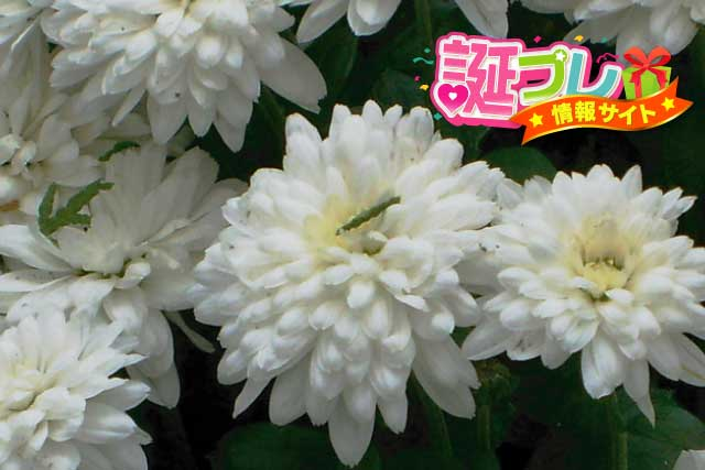 白色の菊の画像