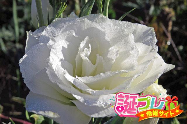 白色のトルコキキョウの画像