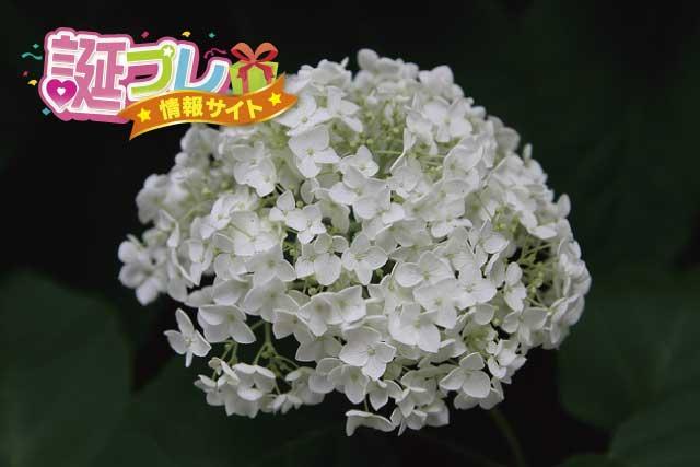 白色の紫陽花の画像