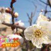 梅の花言葉は誰に対しても使える褒め言葉