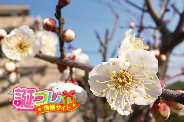 白色の梅の花の画像