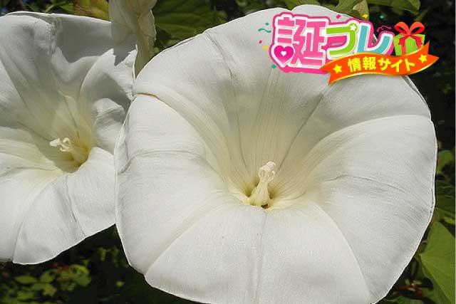 白色の朝顔の画像