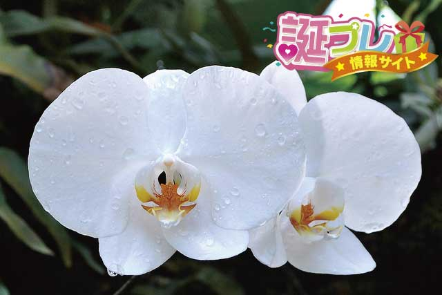 白い胡蝶蘭の画像