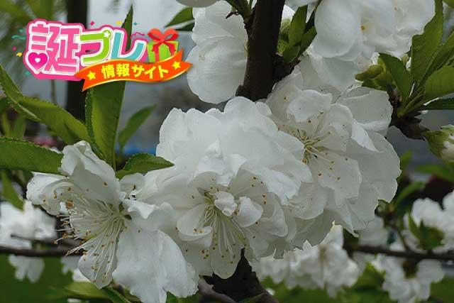 白色の桃の画像