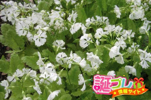 白色の桜草の画像