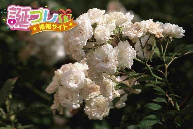 白薔薇の画像