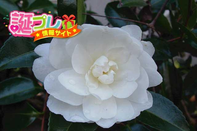 白色の山茶花の画像