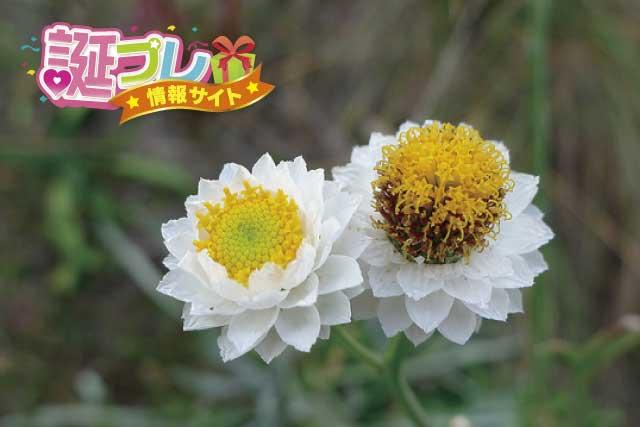 アンモビウムの花の画像