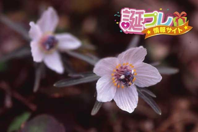 セツブンソウの花の画像