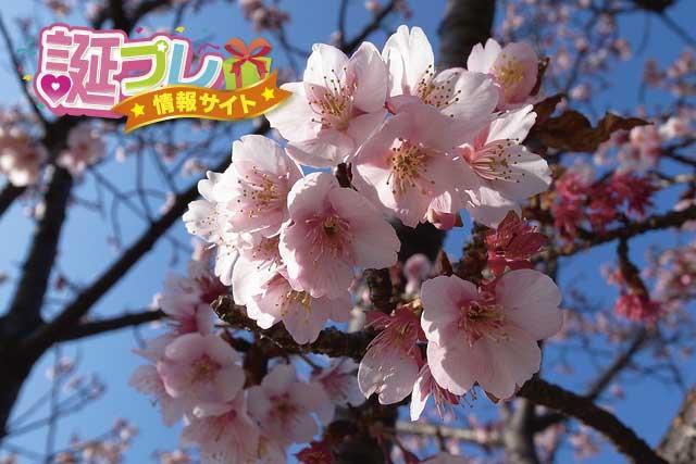 寒桜の画像