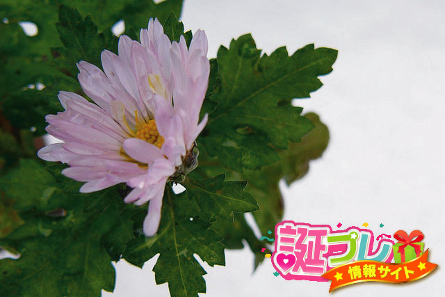 寒菊の画像