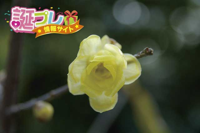 黄梅の花の画像