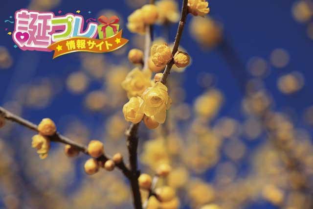 ソシンロウバイの花の画像