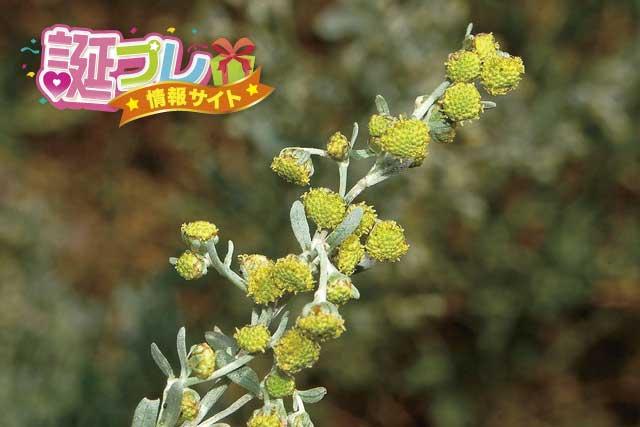 ニガヨモギの花の画像