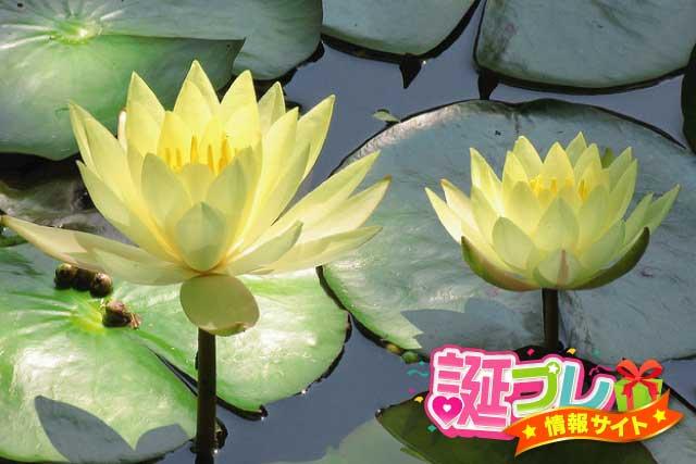 黄色の睡蓮の画像