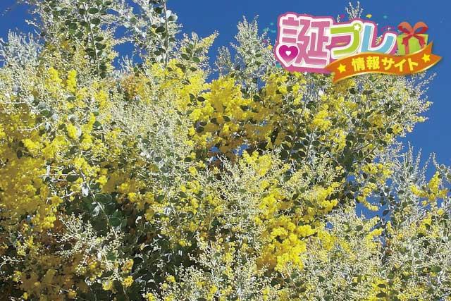 黄色のアカシアの画像
