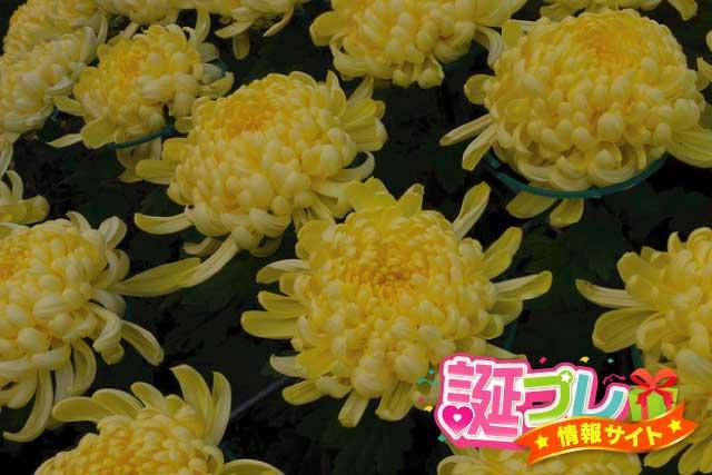 黄色の菊の画像