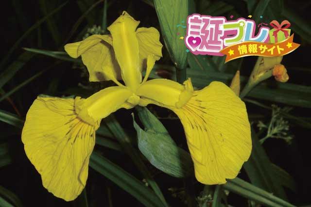 黄菖蒲の花の画像