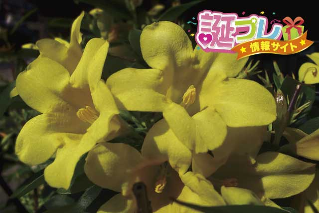 黄色のジャスミンの画像