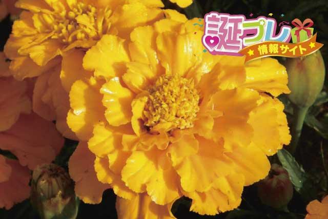 黄色いマリーゴールドの画像