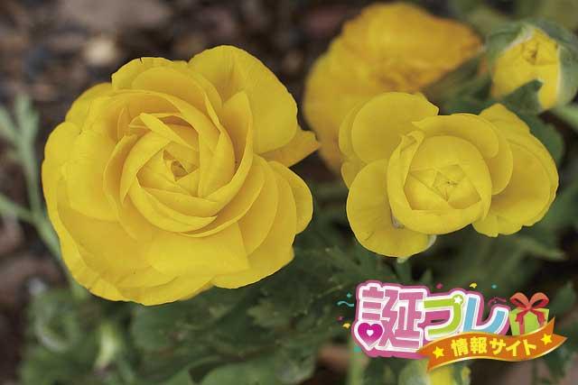黄色のラナンキュラスの画像