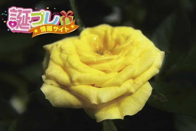 黄色い薔薇の画像