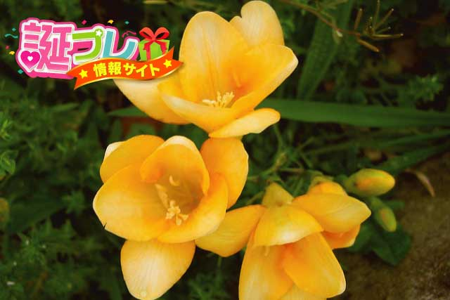黄色のサフランの画像