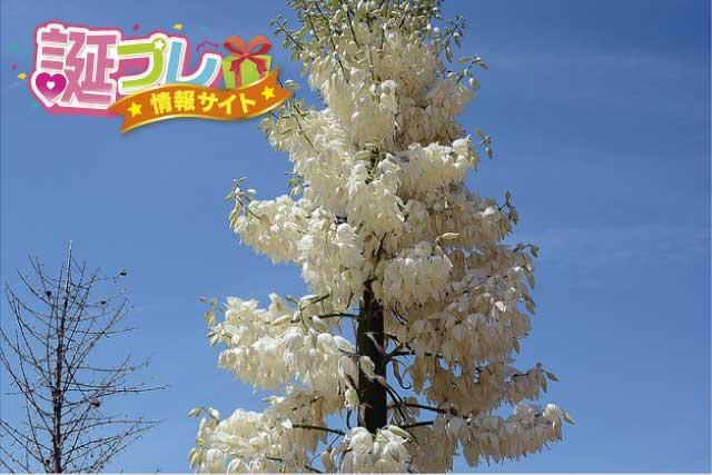 ユッカの花の画像