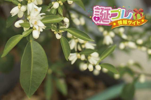 柚の花の画像