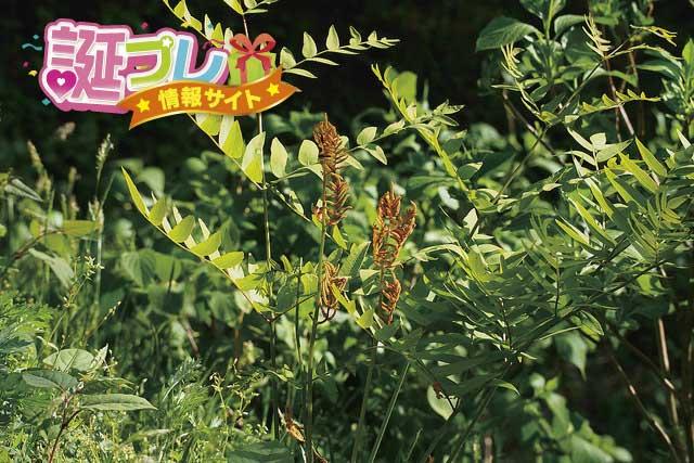 ゼンマイの花の画像