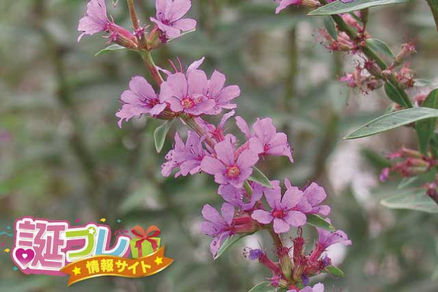 ミソハギの花の画像