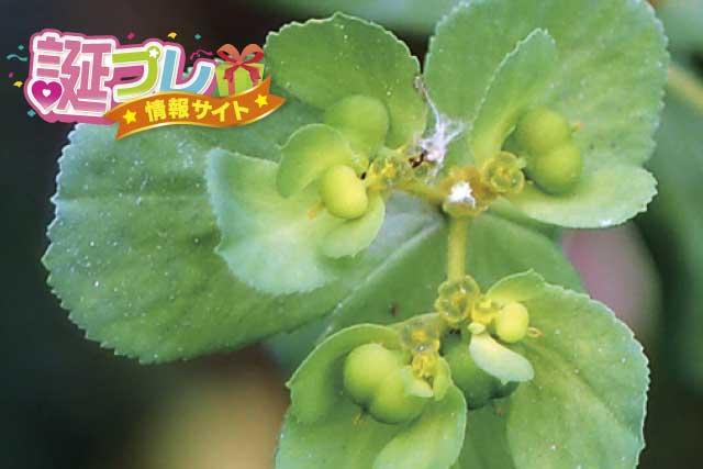 トウダイグサの花の画像