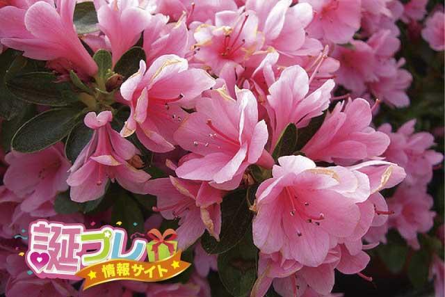 つつじの花の画像