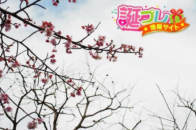 熱海の桜の画像