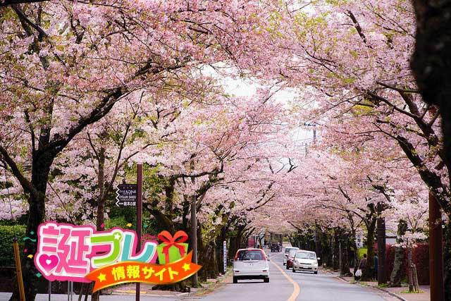 伊豆高原の桜の画像